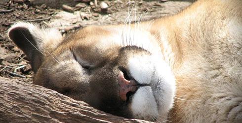 sleep_lion.jpg
